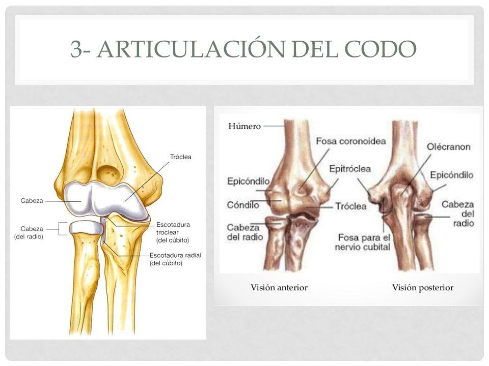 Contemporáneo Articulación Del Codo Adorno - Anatomía de Las ...