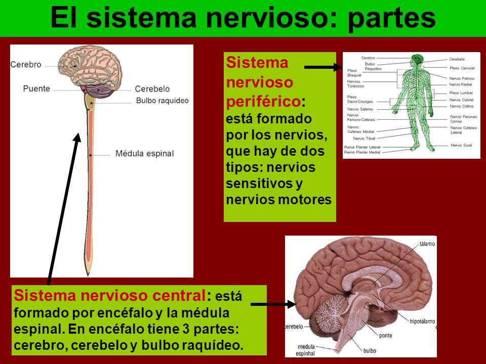 Excepcional Partes Del Sistema Nervioso Colección de Imágenes ...