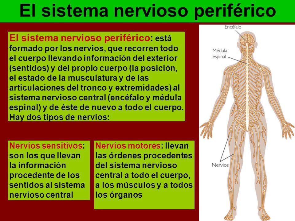 Dorable Todo Sobre El Sistema Nervioso Bosquejo - Anatomía de Las ...