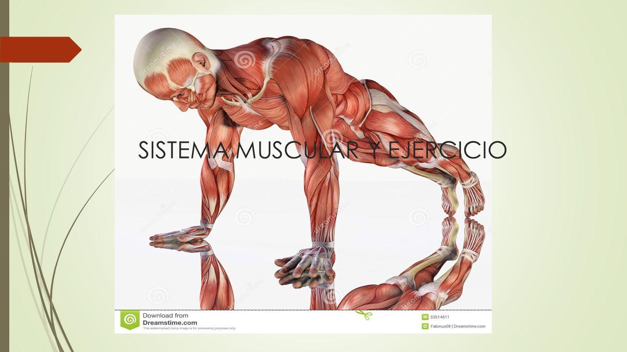 Perfecto Anatomía Macroscópica De Sistema Muscular Molde - Imágenes ...