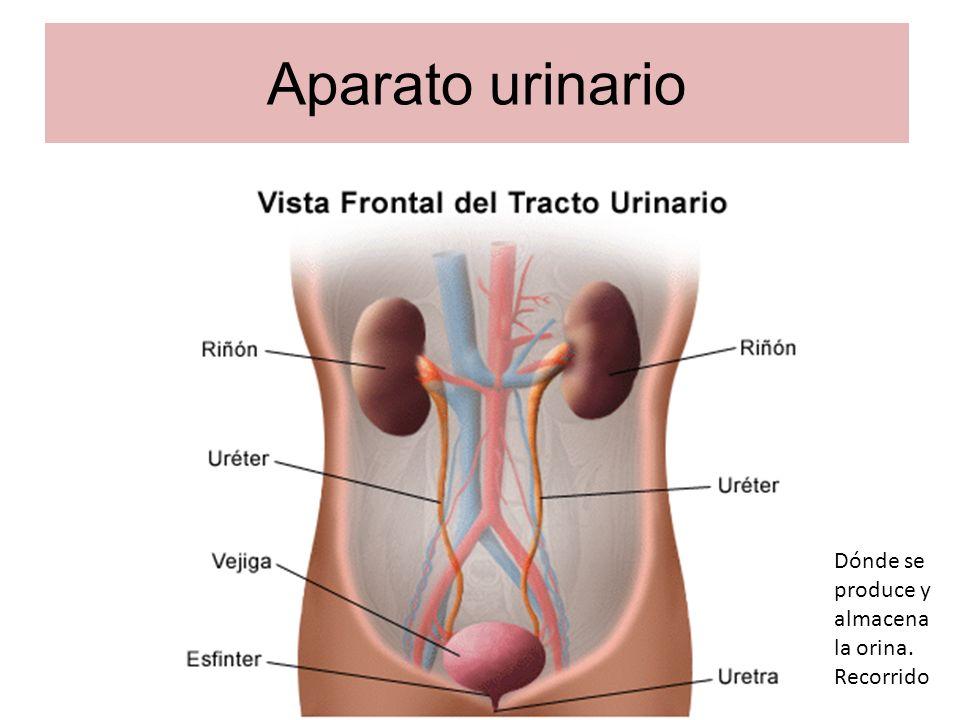 Aparato urinario Dónde se produce y almacena la orina. Recorrido