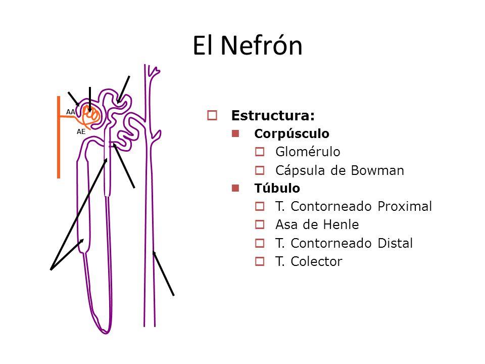 El Nefrón Estructura: Glomérulo Cápsula de Bowman