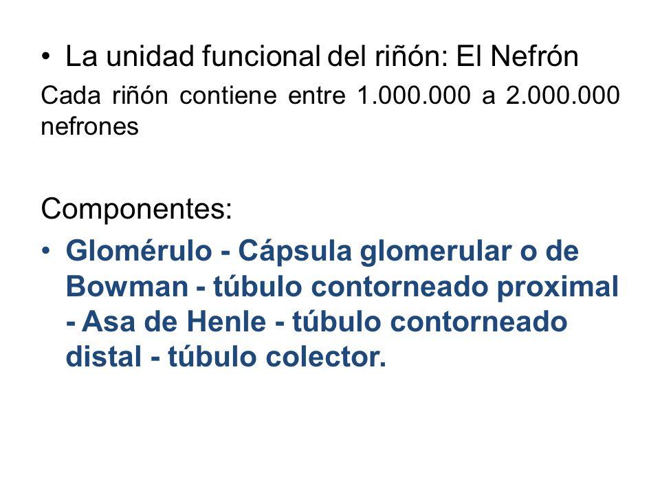 La unidad funcional del riñón: El Nefrón