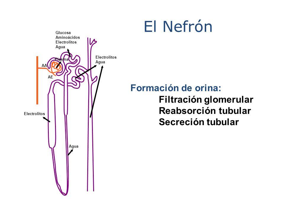 El Nefrón Formación de orina: Filtración glomerular