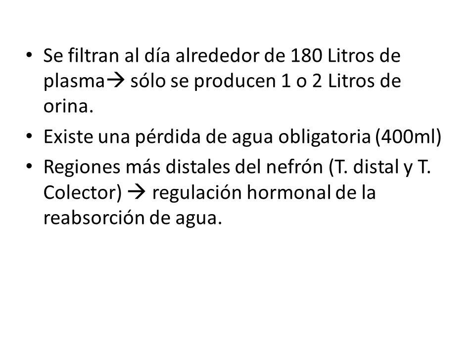 Se filtran al día alrededor de 180 Litros de plasma sólo se producen 1 o 2 Litros de orina.