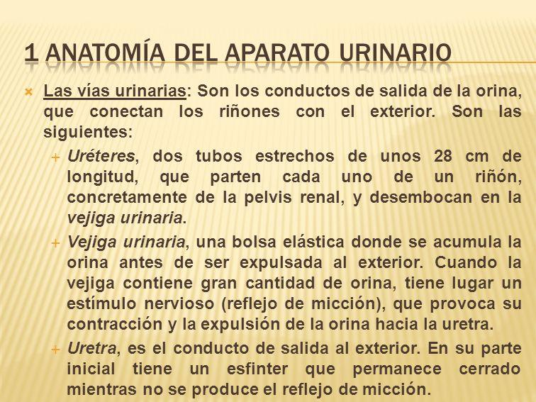 1 ANATOMÍA Del aparato urinario