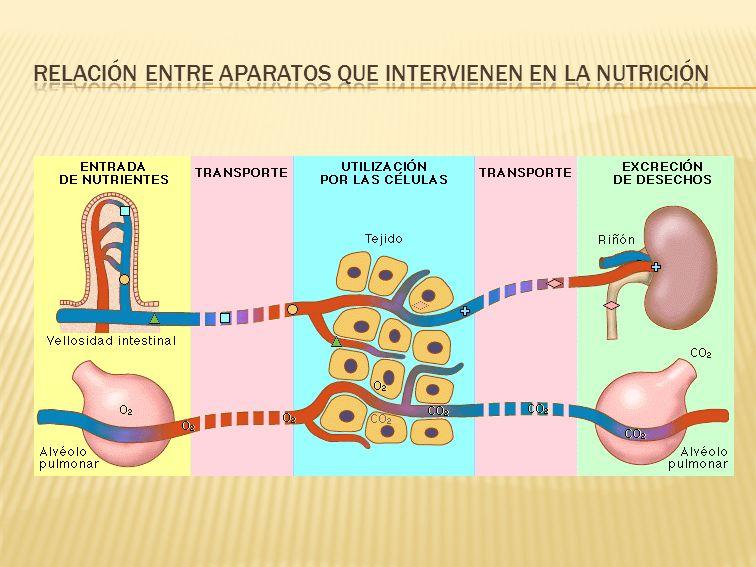 RELACIÓN ENTRE APARATOS QUE INTERVIENEN EN LA NUTRICIÓN