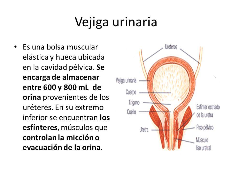 Vejiga urinaria