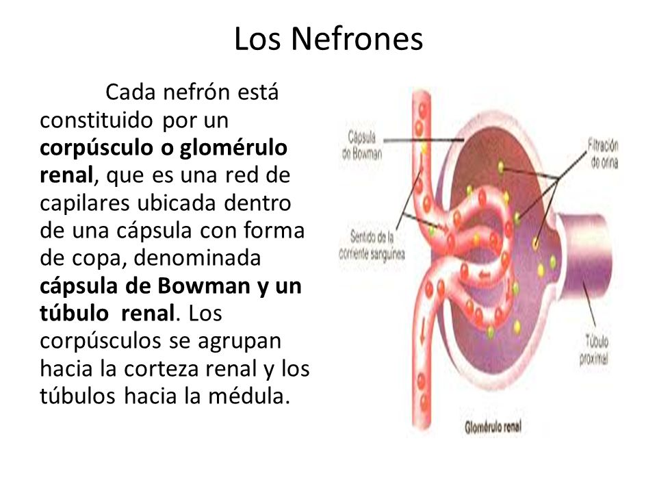 Los Nefrones