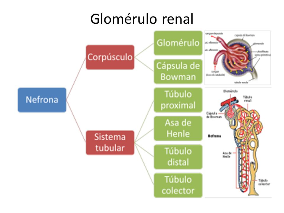 Glomérulo renal