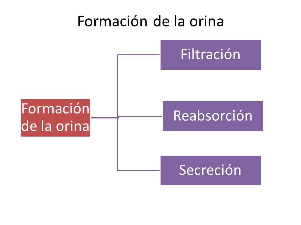 Formación de la orina Filtración Formación de la orina Reabsorción