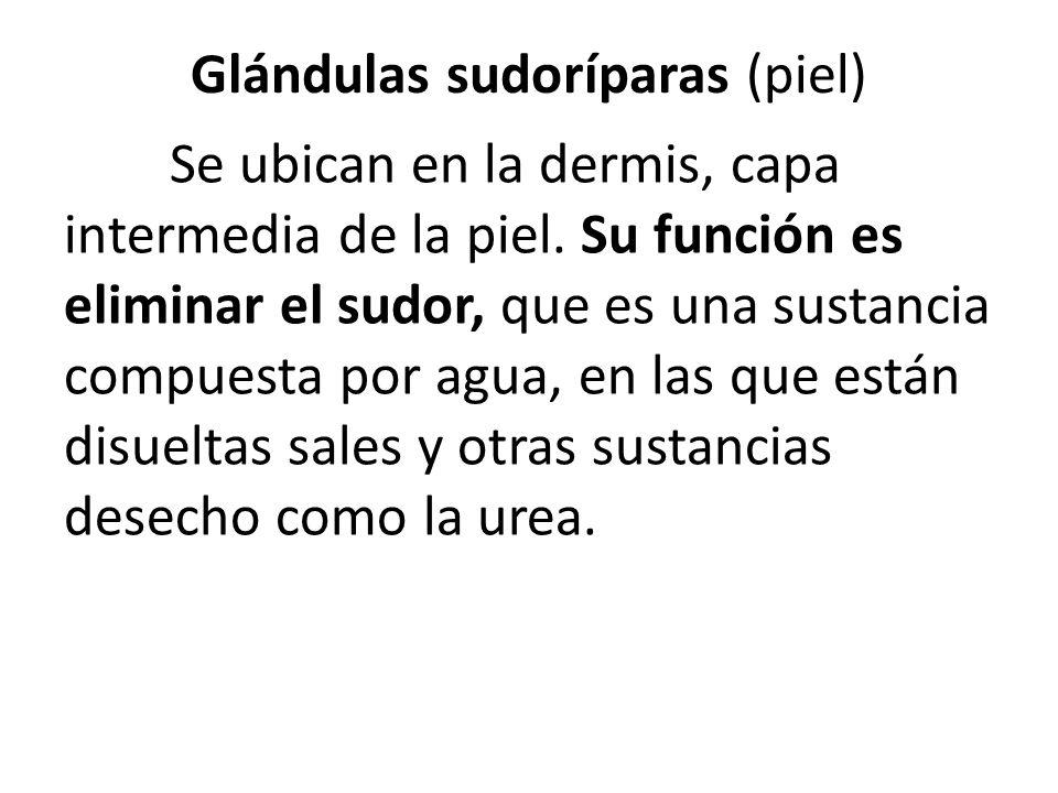 Glándulas sudoríparas (piel)