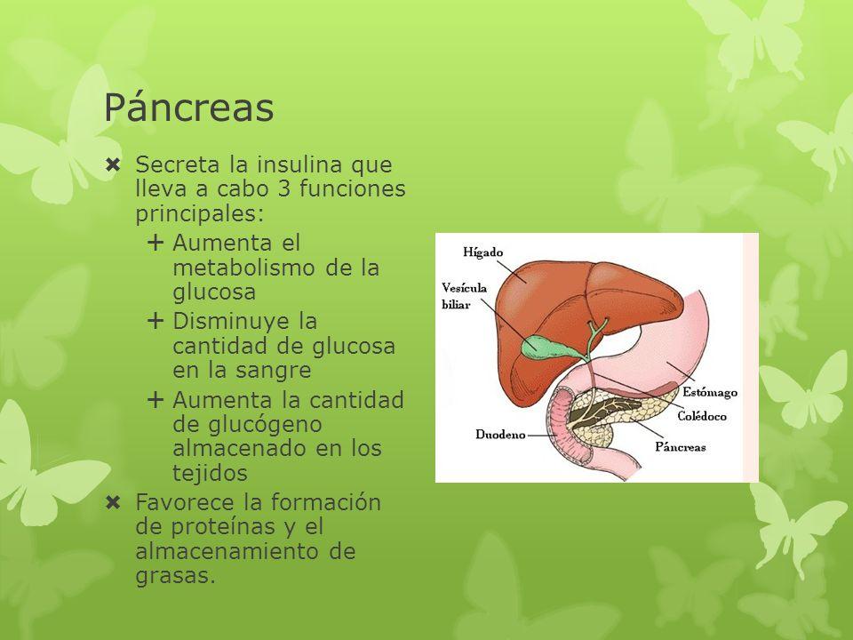 Páncreas Secreta la insulina que lleva a cabo 3 funciones principales: