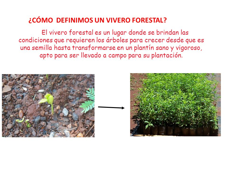 semillas y vivero forestal de plantas nativas ppt descargar On pasos para establecer un vivero forestal