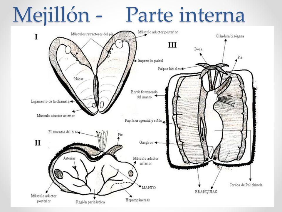 Perfecto Anatomía Azul Mejillón Galería - Anatomía de Las ...