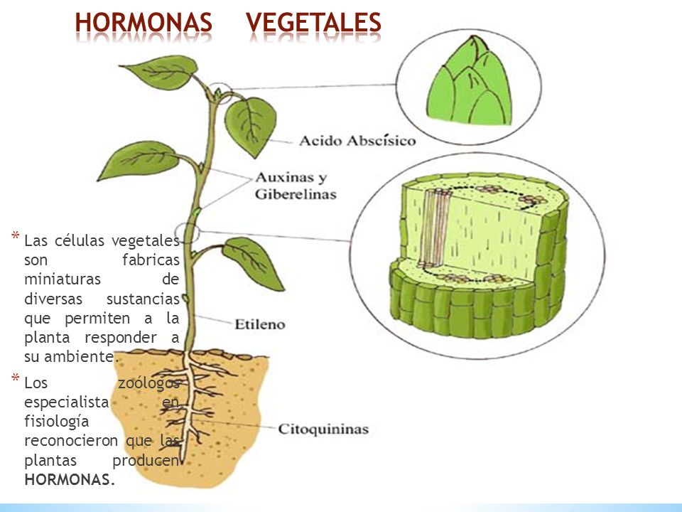 Hormonas vegetales las c lulas vegetales son fabricas for Hormonas en las plantas