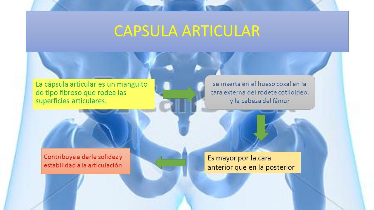 CAPSULA ARTICULAR se inserta en el hueso coxal en la cara externa del rodete cotiloideo, y la cabeza del fémur.