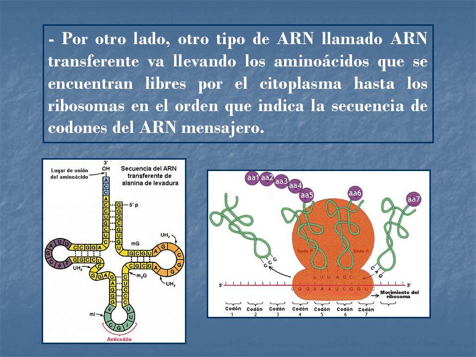 Tema 3 gen tica molecular ppt descargar for Espejo que se ve por el otro lado