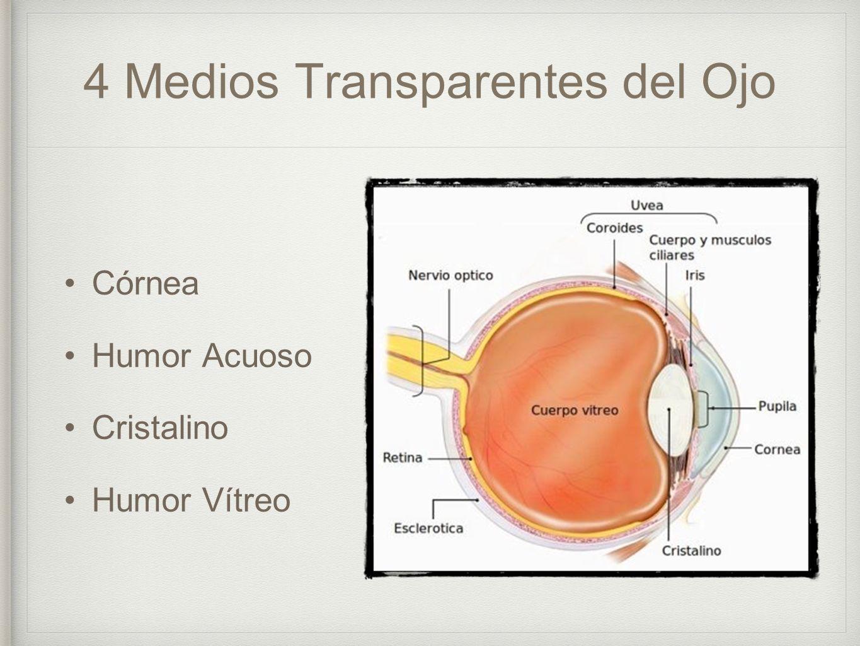 Lujo La Anatomía Y La Fisiología Ocular Colección de Imágenes ...