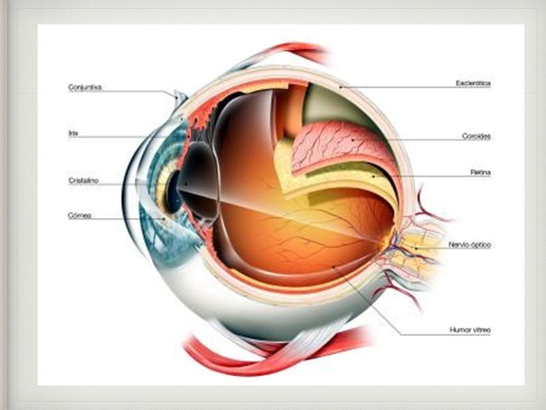 Lujo La Anatomía Y La Fisiología Ocular Fotos - Imágenes de Anatomía ...