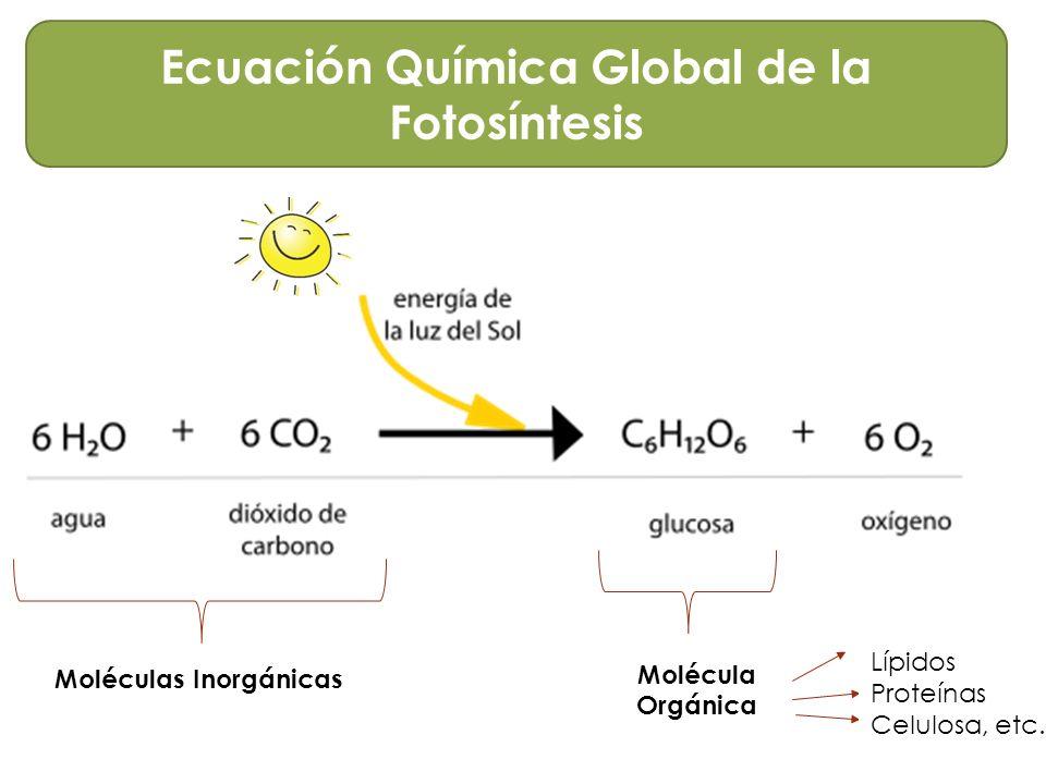 Fotosintesis y su ecuacion 14