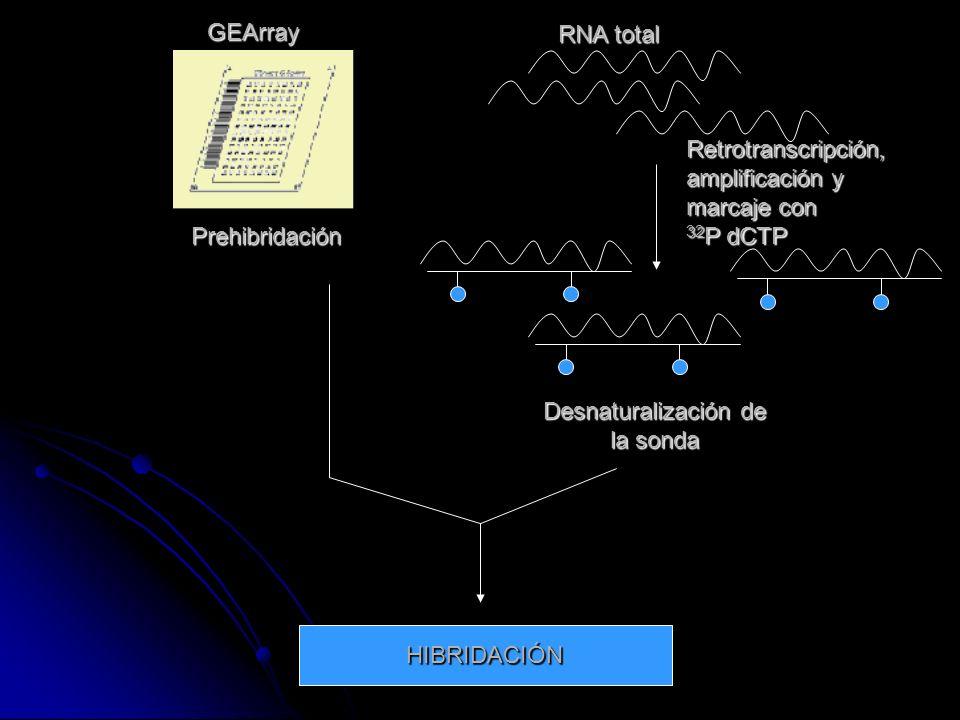 GEArrayRNA total. Retrotranscripción, amplificación y. marcaje con. 32P dCTP. Prehibridación. Desnaturalización de.