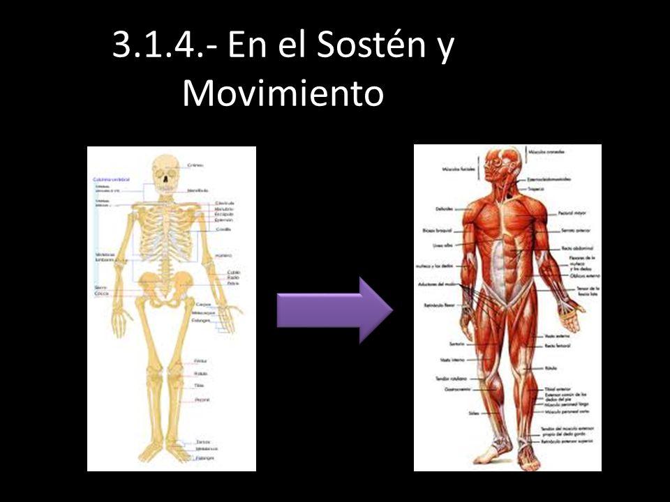 3.1.4.- En el Sostén y Movimiento