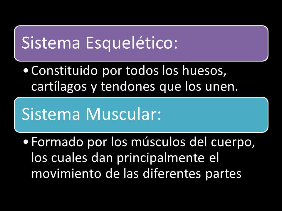Sistema Esquelético: Constituido por todos los huesos, cartílagos y tendones que los unen. Sistema Muscular:
