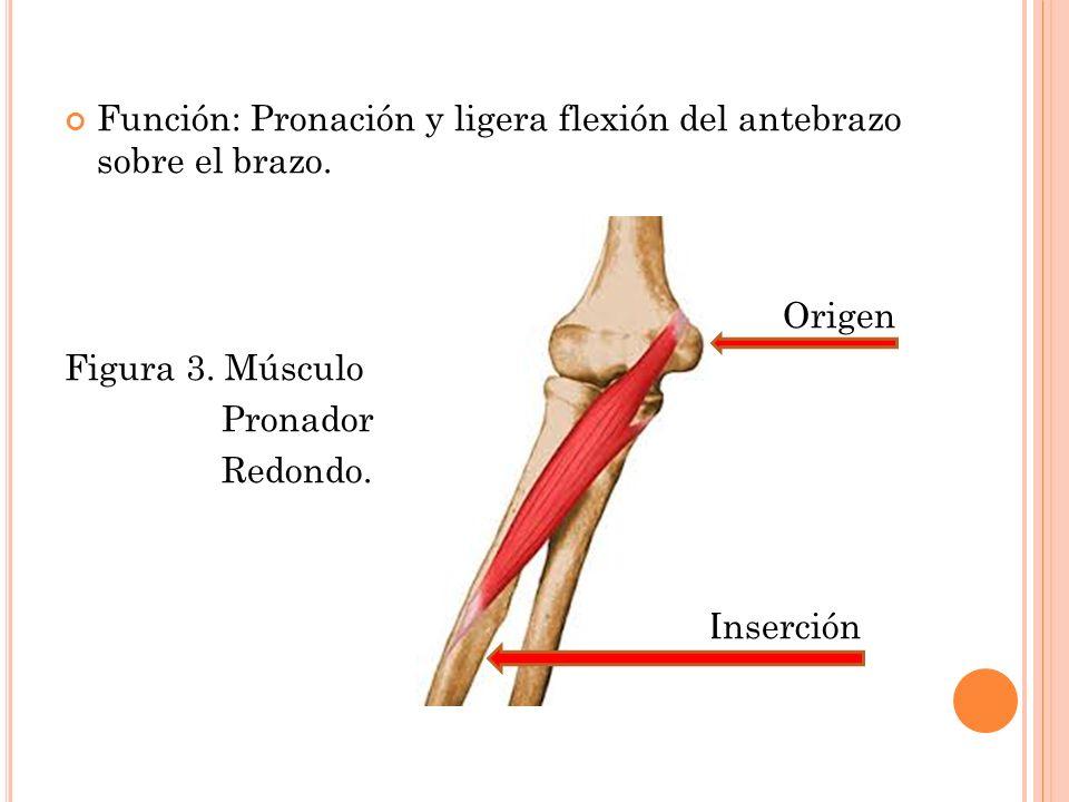 Atractivo Diagrama De Músculos Del Brazo Inspiración - Anatomía de ...