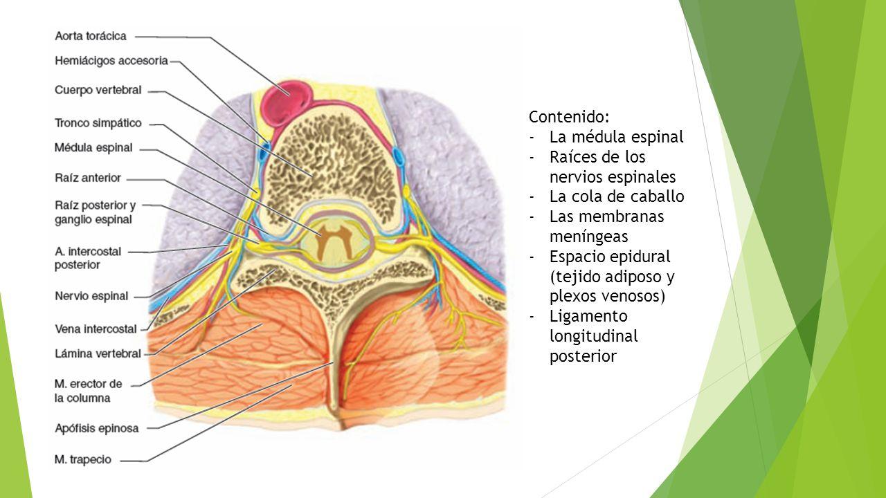 Lujo La Médula Espinal Y La Anatomía Vértebras Cresta - Imágenes de ...