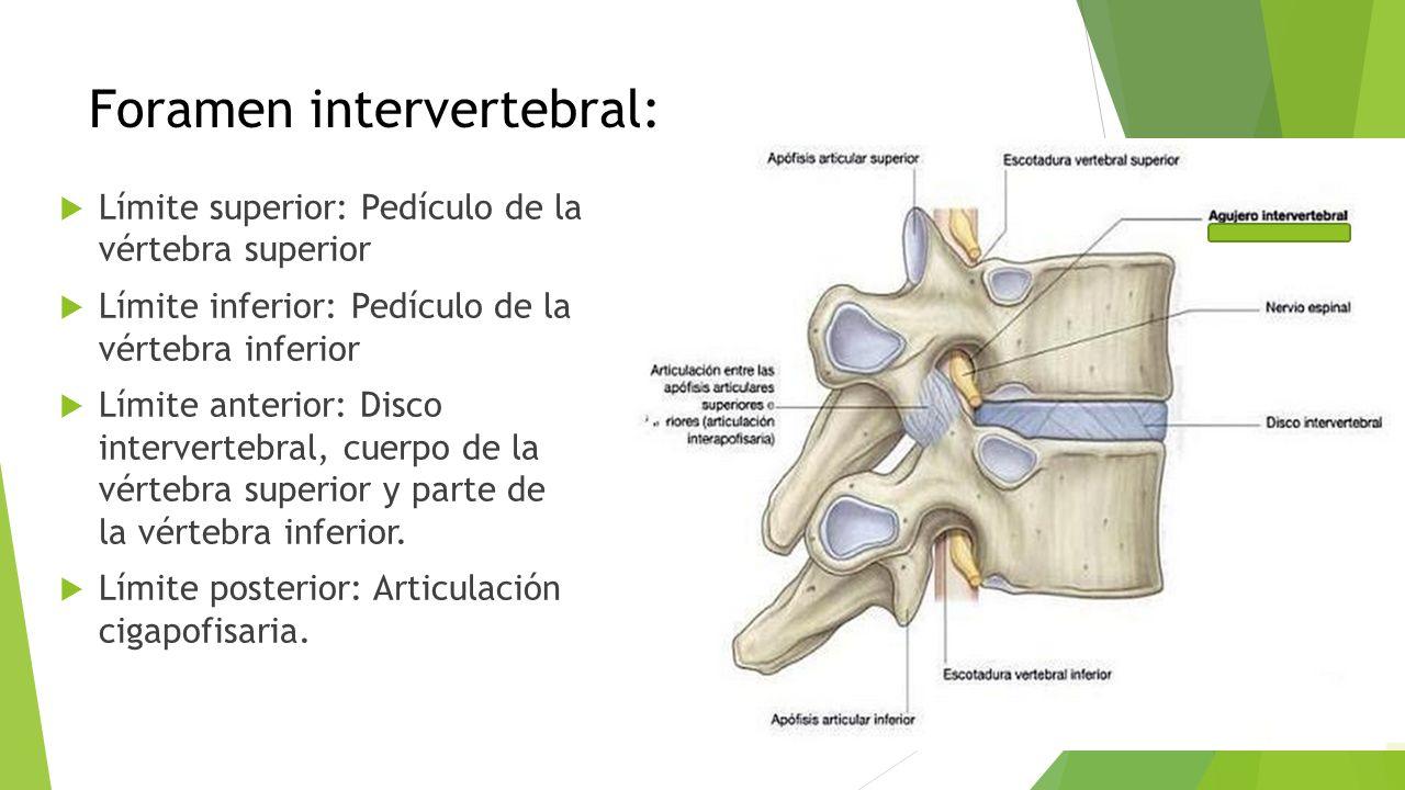 Intervertebral foramen anatomy
