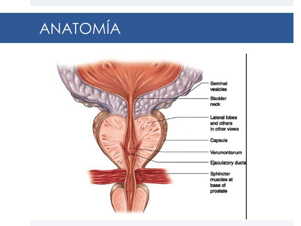 Encantador Haz Neurovascular La Anatomía De La Próstata Componente ...
