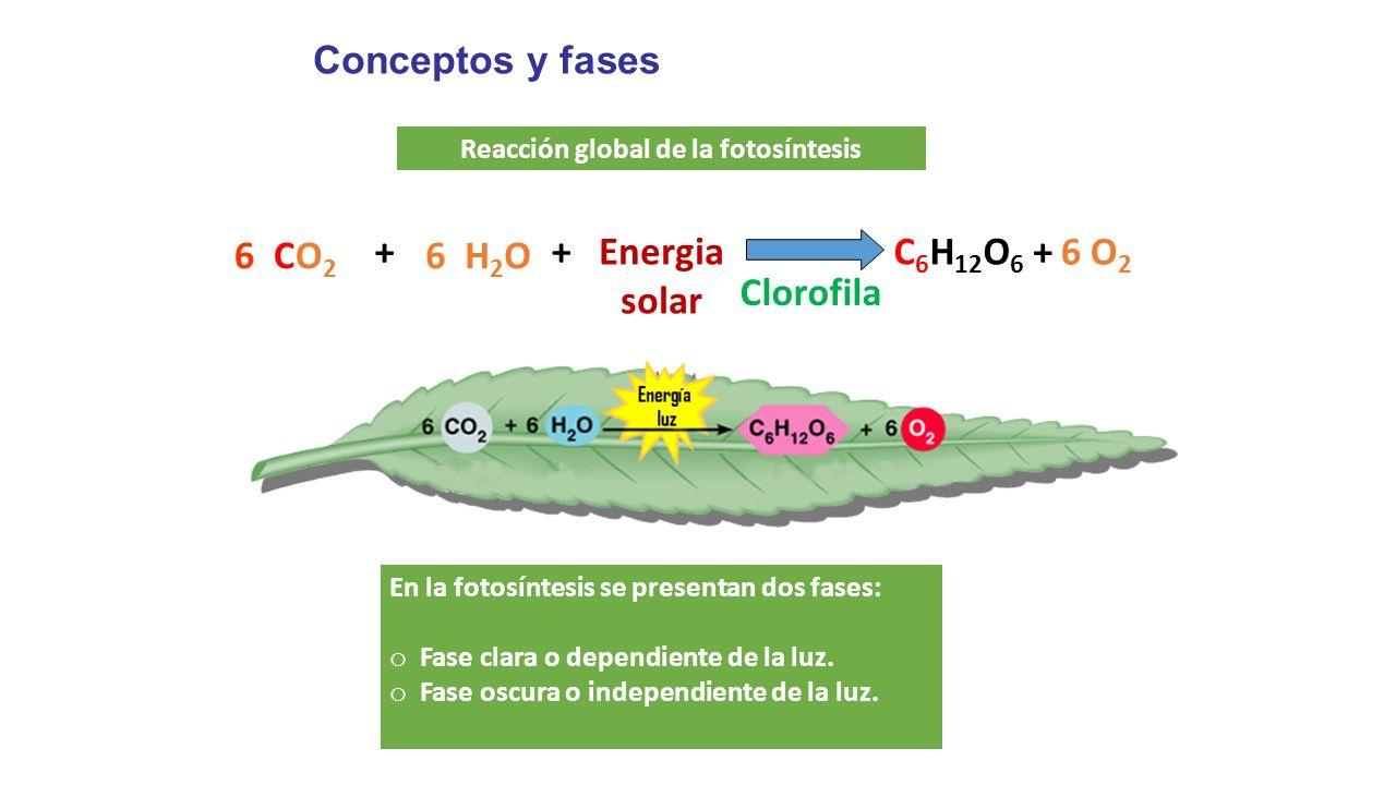 Fases de la fotosintesis wikipedia 65