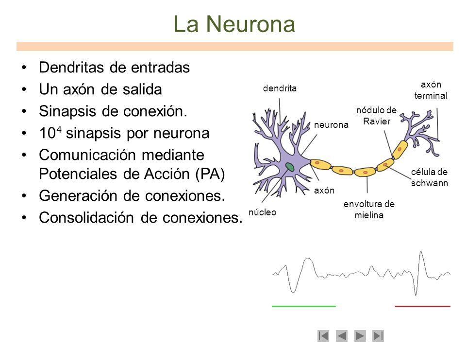 La Neurona Dendritas de entradas Un axón de salida