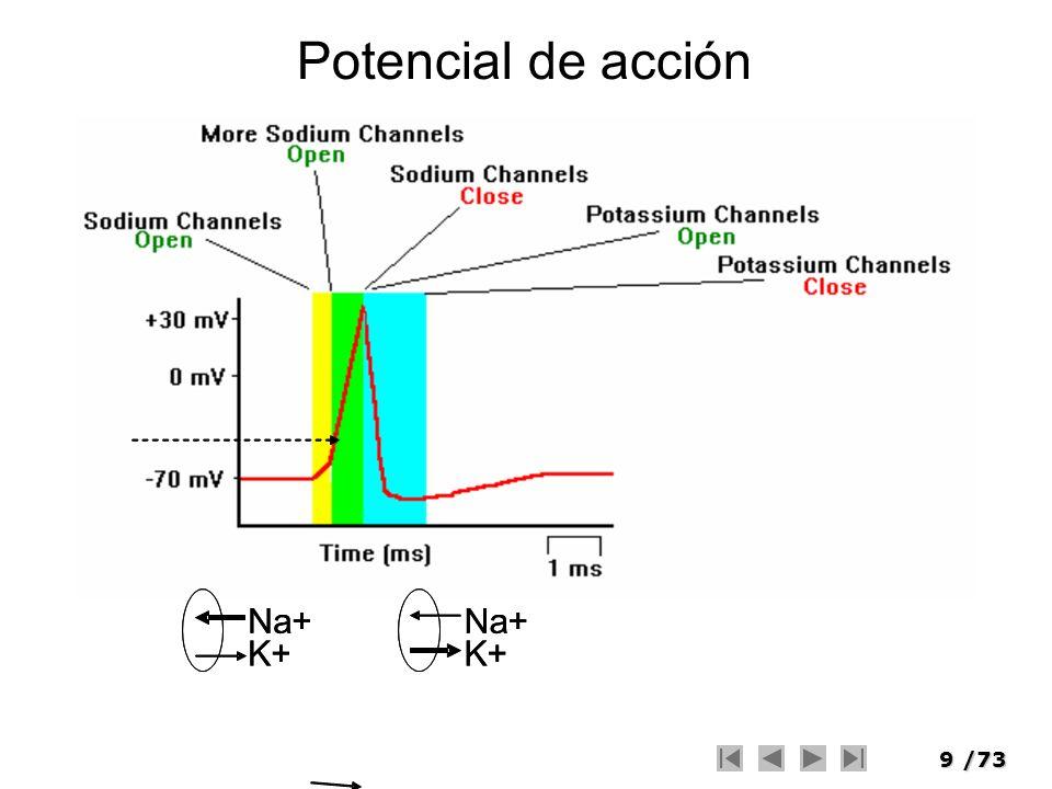 Potencial de acción Na+ Na+ Na+ Na+ K+ K+ K+ K+
