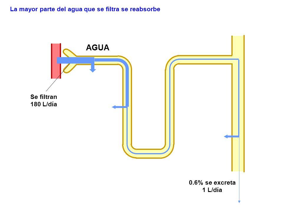 AGUA La mayor parte del agua que se filtra se reabsorbe Se filtran