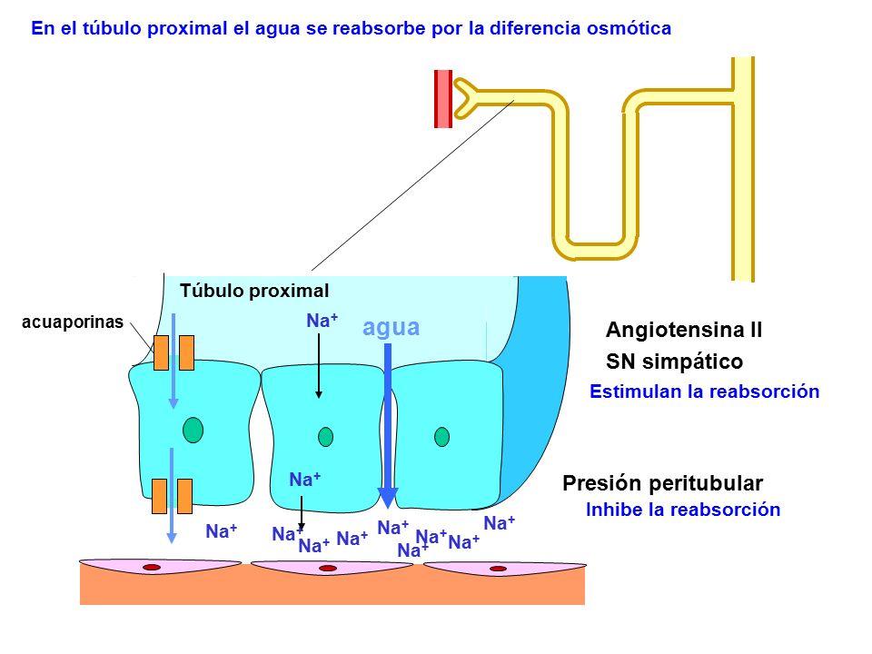 agua Angiotensina II SN simpático Presión peritubular