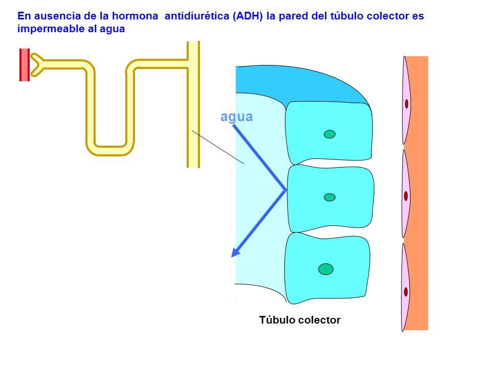 En ausencia de la hormona antidiurética (ADH) la pared del túbulo colector es impermeable al agua