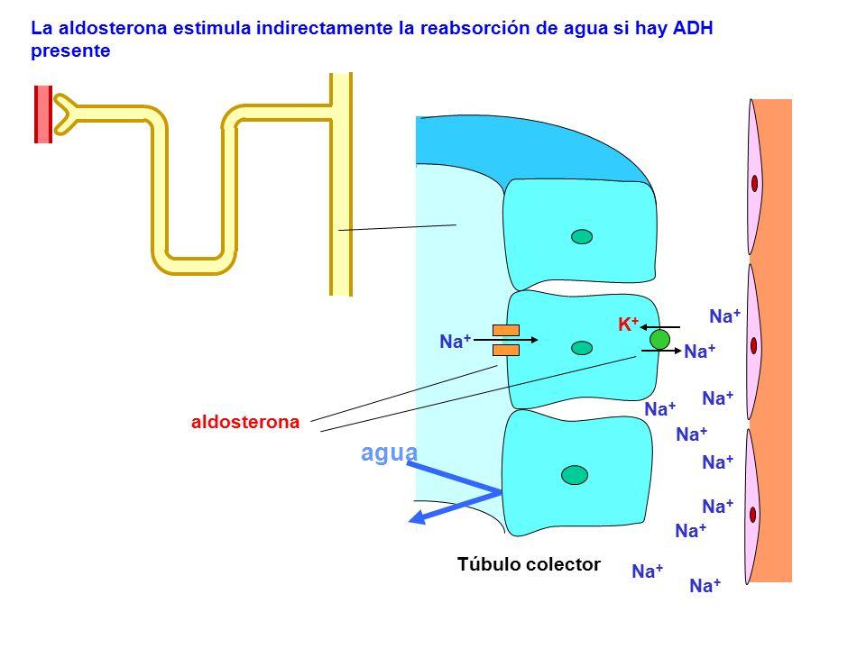 La aldosterona estimula indirectamente la reabsorción de agua si hay ADH presente