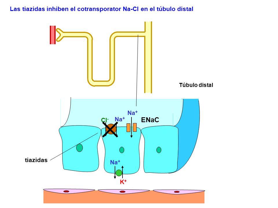 ENaC Las tiazidas inhiben el cotransporator Na-Cl en el túbulo distal
