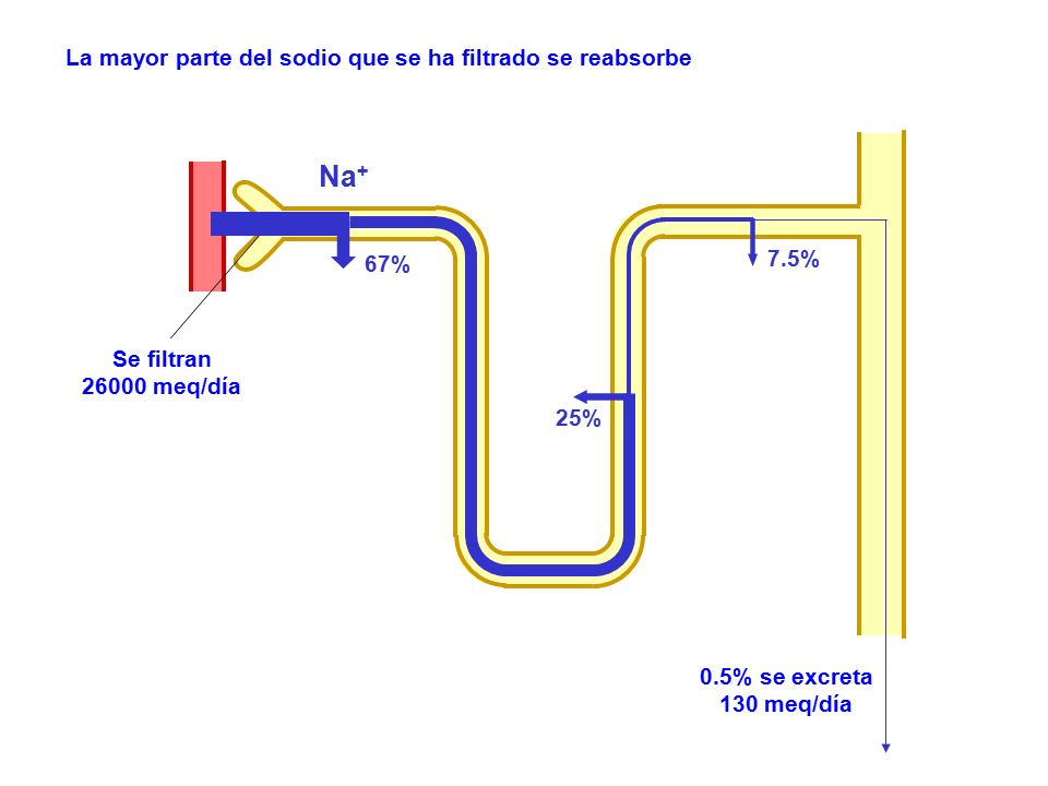 Na+ La mayor parte del sodio que se ha filtrado se reabsorbe 7.5% 67%