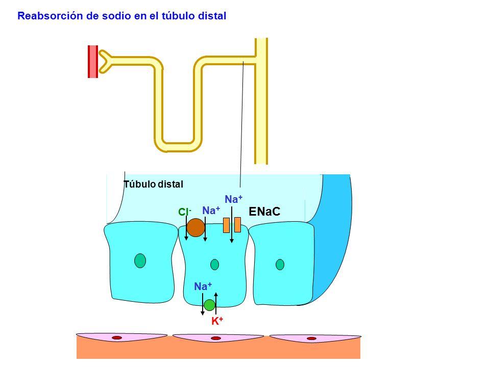 ENaC Reabsorción de sodio en el túbulo distal Na+ Cl- Na+ Na+ K+