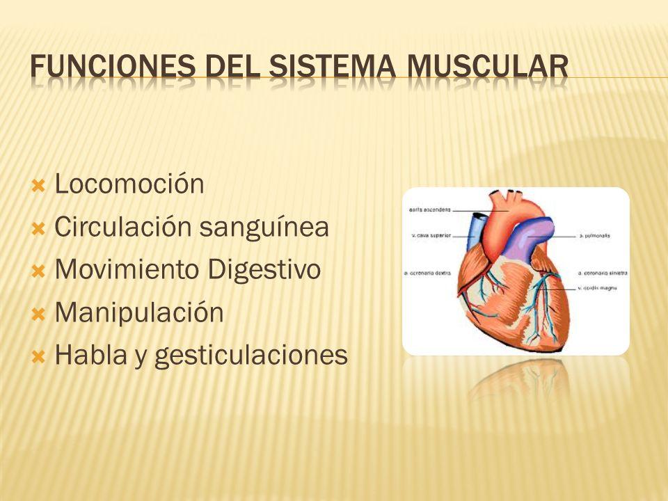 Moderno Función De Sistema Muscular Colección - Anatomía de Las ...