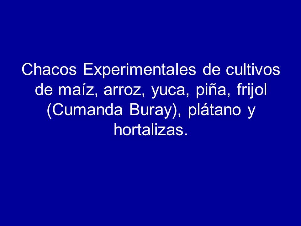 Chacos Experimentales de cultivos de maíz, arroz, yuca, piña, frijol (Cumanda Buray), plátano y hortalizas.