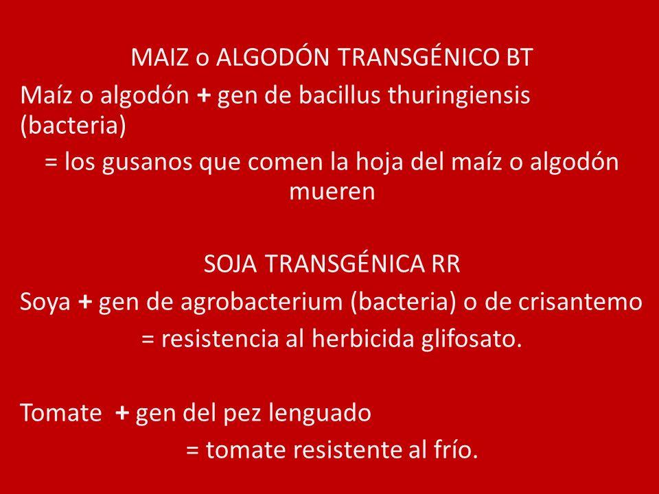 MAIZ o ALGODÓN TRANSGÉNICO BT
