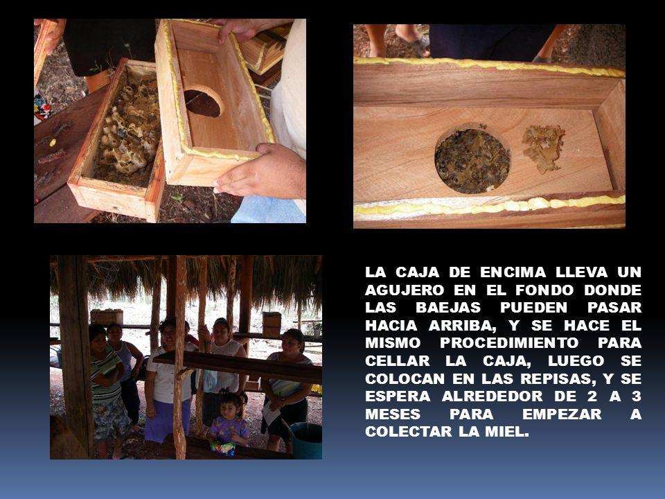 LA CAJA DE ENCIMA LLEVA UN AGUJERO EN EL FONDO DONDE LAS BAEJAS PUEDEN PASAR HACIA ARRIBA, Y SE HACE EL MISMO PROCEDIMIENTO PARA CELLAR LA CAJA, LUEGO SE COLOCAN EN LAS REPISAS, Y SE ESPERA ALREDEDOR DE 2 A 3 MESES PARA EMPEZAR A COLECTAR LA MIEL.