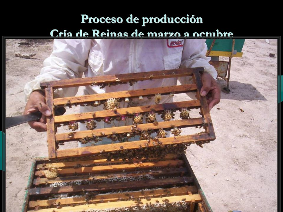 Proceso de producción Cría de Reinas de marzo a octubre