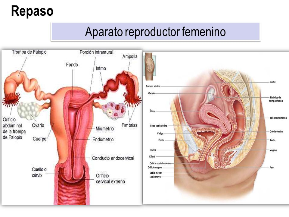 Fantástico Sistema Reproductivo Masculino Con Etiquetas Molde ...