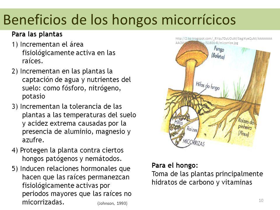 Beneficios de los hongos micorrícicos