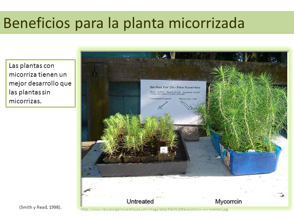 Beneficios para la planta micorrizada